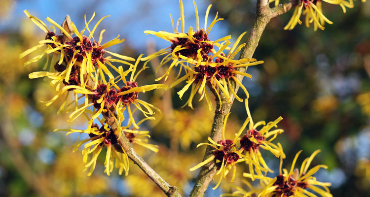 make your own witch hazel extract