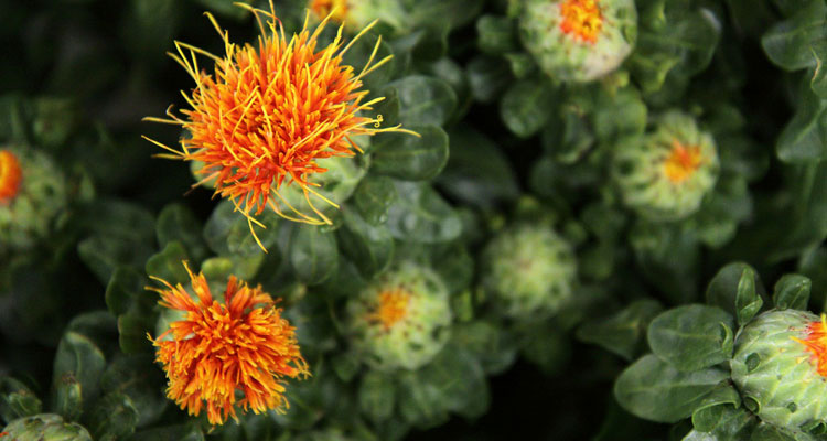 safflower oil for hair and skin