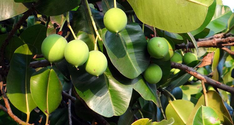 tamanu oil benefits